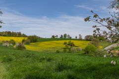 Rapeseed field. In beautiful german region Odenwald royalty free stock photo