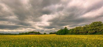 Rapeseed field, beautiful landscape full of yellow blooming flowers Stock Photography