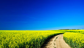 Rapeseed field in the beautiful springtime. Royalty Free Stock Photo