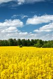 Rapeseed field with beautiul sky Royalty Free Stock Photography