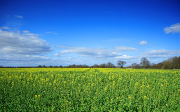 Rapeseed Field Beginning To Fl Royalty Free Stock Photos