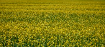 Rapeseed field in Belarus. Many flowers and green yellow color stock photography