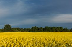 Beautiful yellow canola field at overcast day. royalty free stock photos