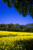 Rapeseed field 2. Rapeseed field in bloom in East Yorkshire Stock Images