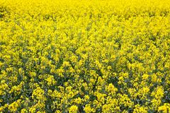Rapeseed field in bloom in the French countryside in spring, full screen stock photos