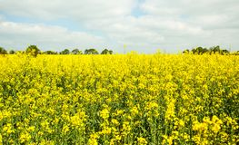 Rapeseed field in bloom in the French countryside in spring with trees on the horizon stock image