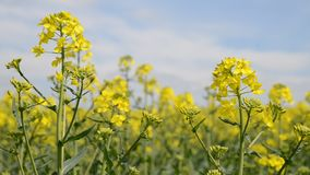 Rapeseed field stock video footage