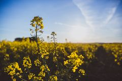 Rapeseed field, Blooming canola flowers close up. Bright Yellow rapeseed oil. Flowering rapeseed royalty free stock photos