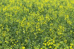 Rapeseed field, Blooming canola flowers close up. Rape on the field in summer stock image