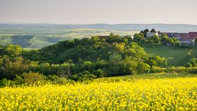 Free Rapeseed Field, Blooming Canola Flowers Close Up. Rape On The Fi Stock Images - 104207584
