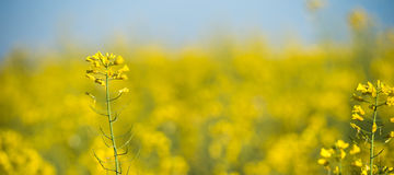 Rapeseed field, Blooming canola flowers Stock Photos