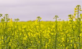 Rapeseed field, Blooming canola flowers close up stock image