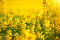 Rapeseed field. Blooming canola Royalty Free Stock Image