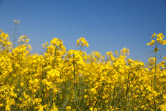 Rapeseed field. Blooming colza . Stock Photo