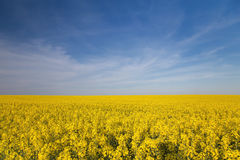 Rapeseed field Stock Images