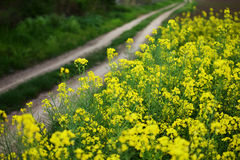 Rapeseed field stock photography