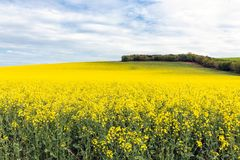 Coleseed field with blooming yellow flowers in Scottish borders. Rapeseed field with blooming yellow flowers in Scottish borders stock image