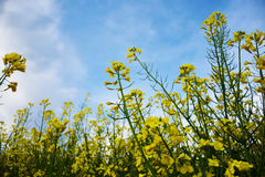 Rapeseed field. Blooming yellow rapeseed flowers in the spring Royalty Free Stock Photography