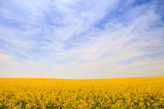 Rapeseed field in blossom up to skyline against blue sky Royalty Free Stock Photography