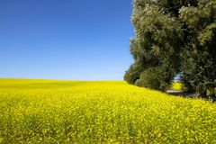 Rapeseed field with blossoming yellow canola flowers genus Brassica and trees on the side of the frame during a sunny summer day Stock Photography
