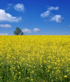 Rapeseed field with blue sky. Royalty Free Stock Photos