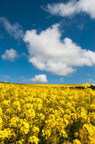 Rapeseed field. And blue sky Royalty Free Stock Image