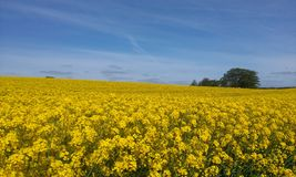 Rapeseed field and blue sky Denmark Royalty Free Stock Images
