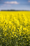 Rapeseed field with blue sky. Yellow rapeseed filed with blue sky Stock Photo