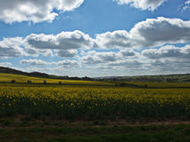 Rapeseed Field. Blue sunny sky and bright yellow rapeseed field Royalty Free Stock Images
