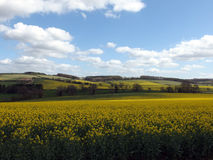 Rapeseed Field. Blue sunny sky and bright yellow rapeseed field Royalty Free Stock Photography