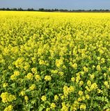 Rapeseed field in bright yellow in summer Royalty Free Stock Images