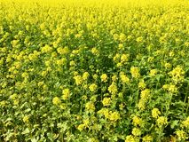 Rapeseed field in bright yellow in summer Royalty Free Stock Photos