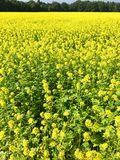 Rapeseed field in bright yellow in summer Stock Photo
