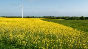 Rapeseed field and a cereal field next to each other. In the background a wind turbine Stock Photography