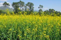 Rapeseed field in china. The chinese rapeseed field in the west of china Stock Photos