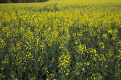 Rapeseed field. Royalty Free Stock Images