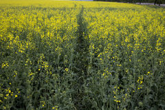 Rapeseed field. Royalty Free Stock Photo