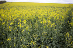 Rapeseed field. Stock Photography