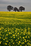 Rapeseed field contryside landscape Stock Photo