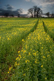 Rapeseed field contryside landscape Stock Image