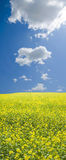 Rapeseed field in countryside. Scenic view of blooming yellow Rapeseed field in countryside under blue sky and cloudscape Stock Photo