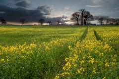 Rapeseed field countryside landscap Stock Image
