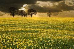 Rapeseed field countryside landscap Royalty Free Stock Photo