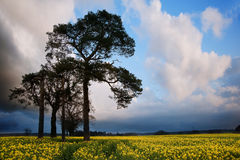 Rapeseed field countryside landscape Royalty Free Stock Photo