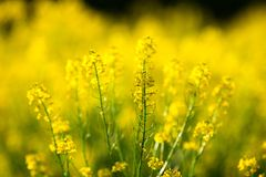 Rapeseed field.detail of flowering rapeseed field. Rapeseed field. detail of flowering rapeseed field. background blur royalty free stock images