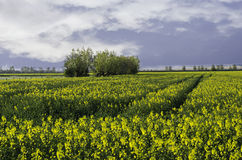 Canola field. Tree line on a Canola field royalty free stock image