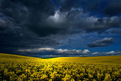 Rapeseed field in early spring with cloudy sky Royalty Free Stock Photography