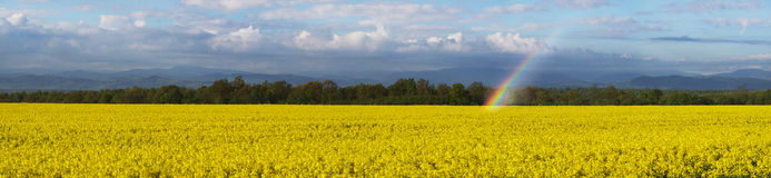 Rapeseed field in Eastern Europe royalty free stock image