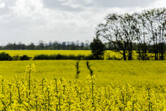 Rapeseed field and Eastham Oil Storage Depot Stock Photos