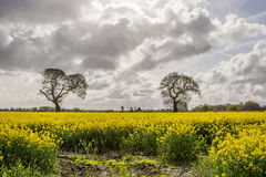 Rapeseed field and Eastham Oil Storage Depot Royalty Free Stock Photo